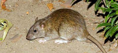 Trapper John Rat Extermination
