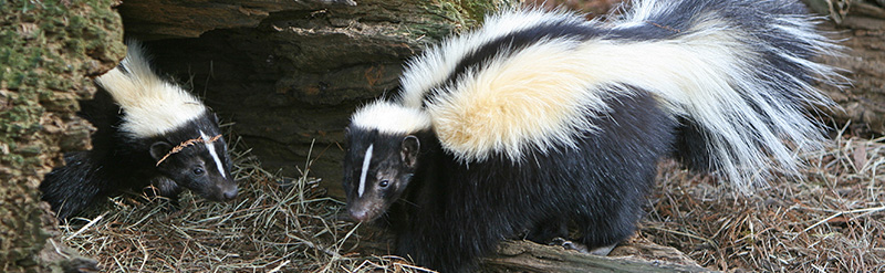 Trapper John Animal Control - Skunk Removal