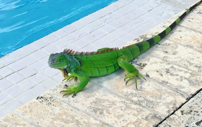 Green Inguana